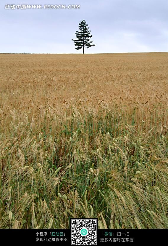 天空下成熟的稻田和绿树图片