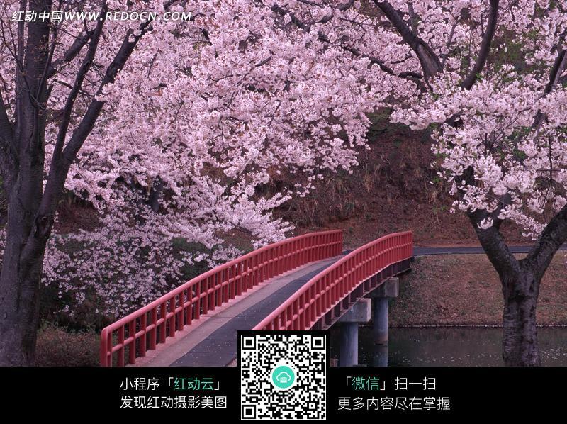 樱花树下的红色栏杆人行桥图片
