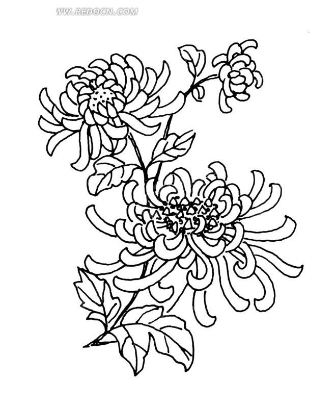 菊花盛开的花枝线描图