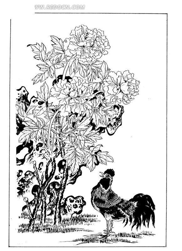 工笔白描图-牡丹花下的公鸡