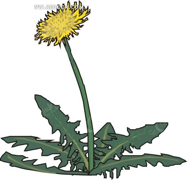 手绘蒲公英花朵和叶子
