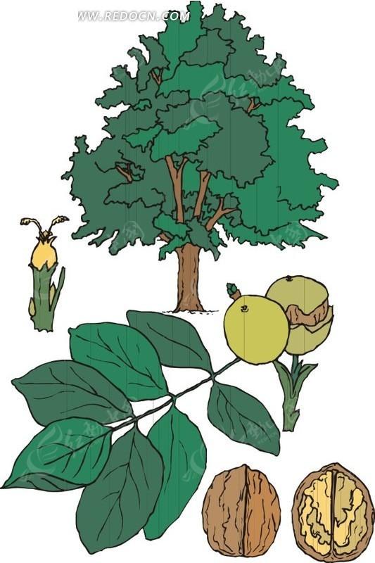 手绘高大的杏树