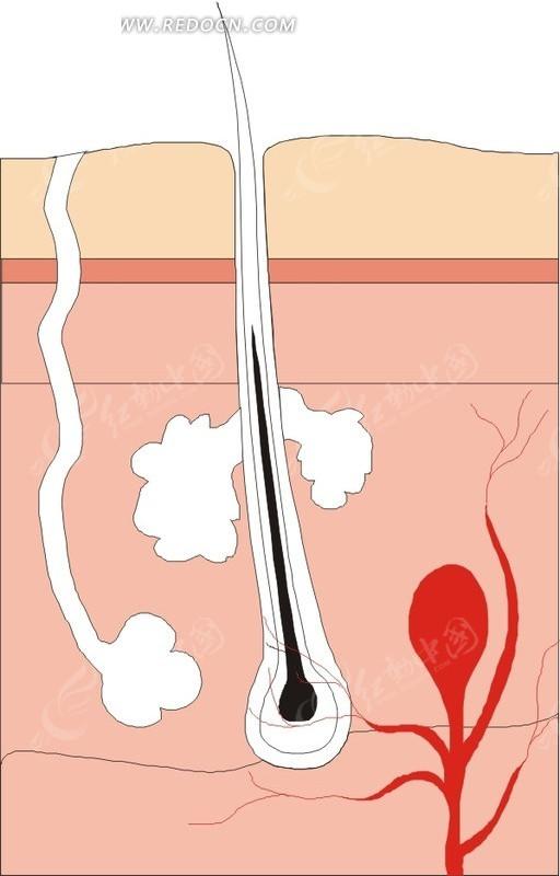 皮肤组织结构