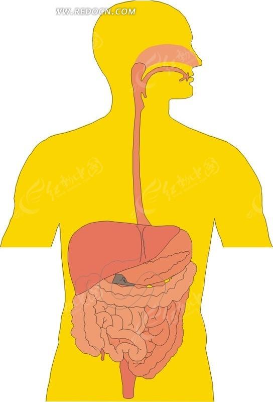 免费素材 矢量素材 矢量人物 人体器官 手绘人体脏器图  请您分享