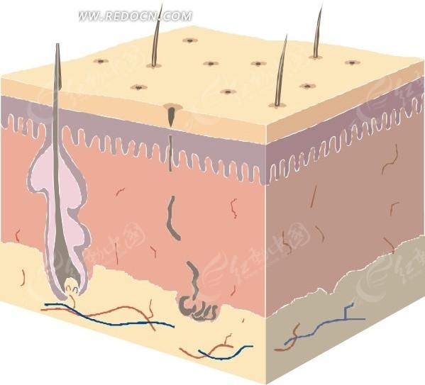 免费素材 矢量素材 矢量人物 人体器官 皮肤的组织结构