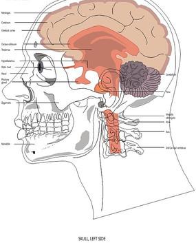手绘人体脑部结构图