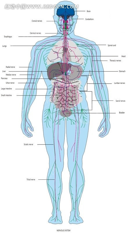 手绘人体器官和经脉图