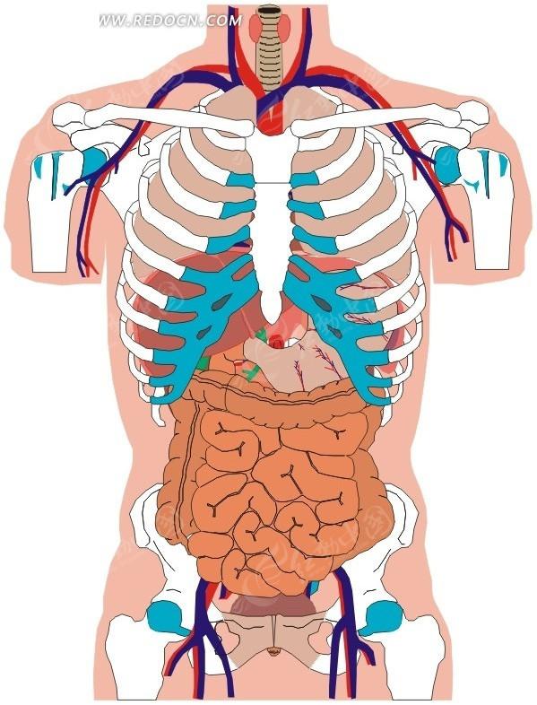 手绘人体内部骨骼和脏器图