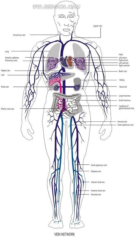 血管图 插画 手绘
