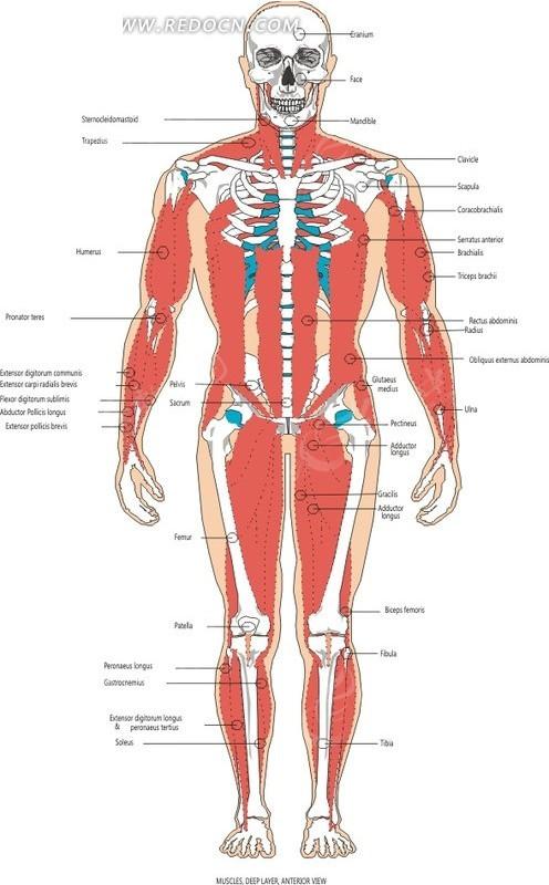 免费素材 矢量素材 矢量人物 人体器官 手绘人体肌肉骨骼前视图  请您
