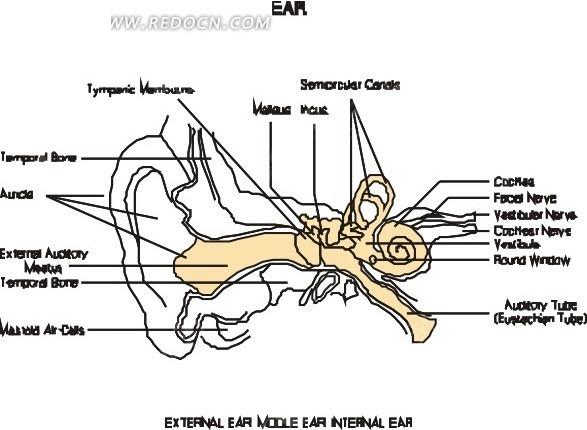 手绘耳朵结构图解