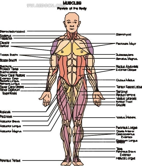 男性人体曰历囹�a_人体器官医学图