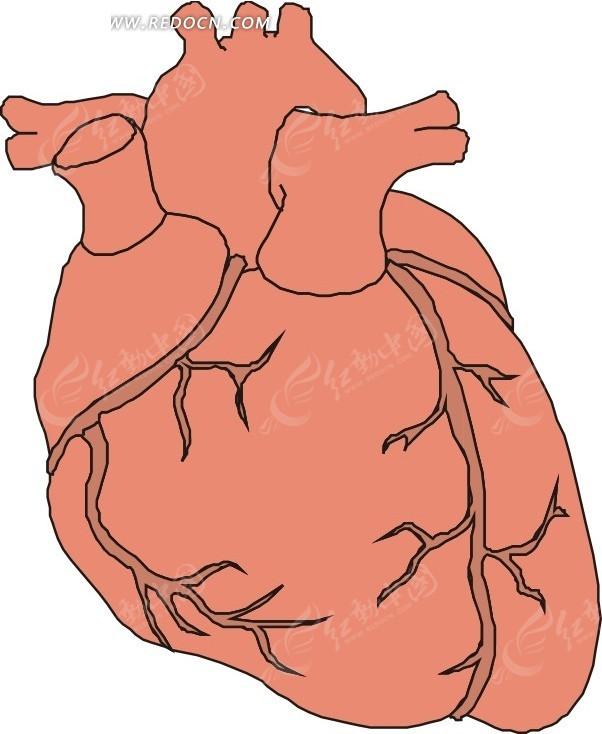 手绘人体器官—心脏