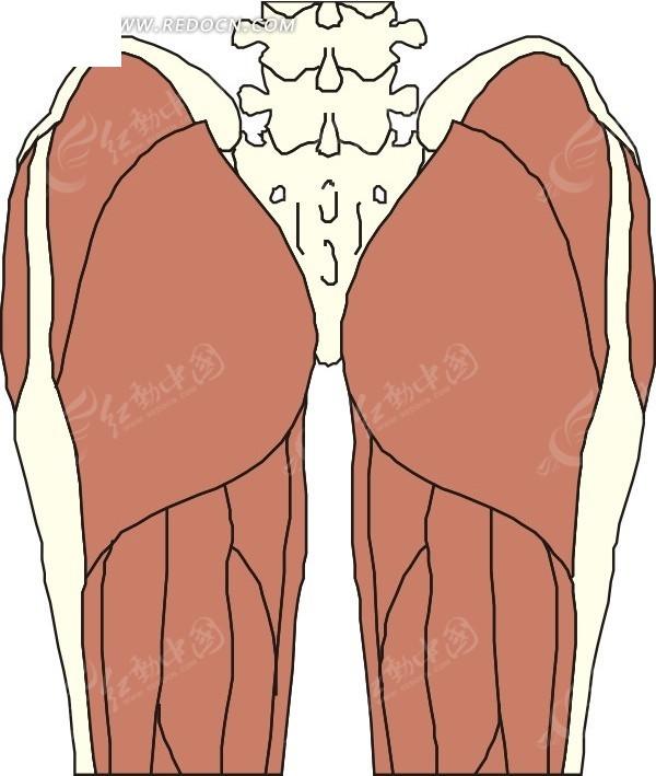 手绘人体腿部和臀部肌肉图矢量图_人体器官