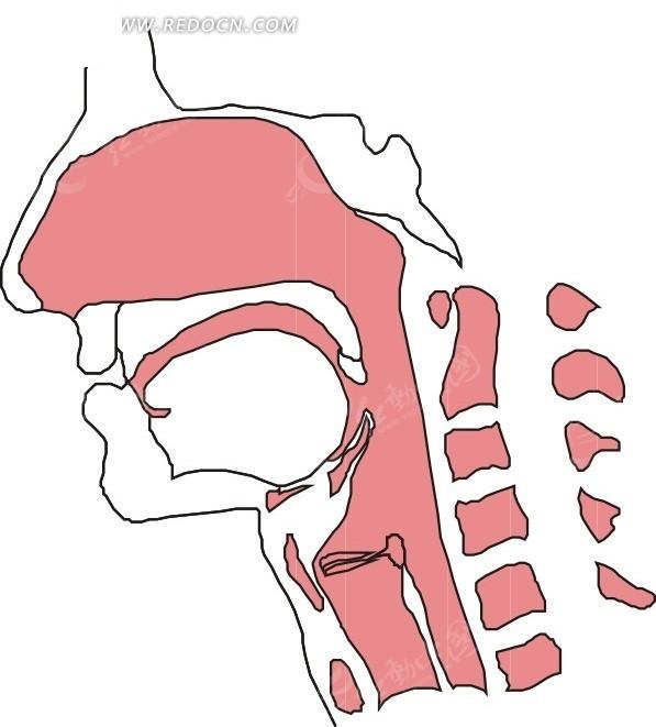 手绘人体颈部和脸部骨骼图