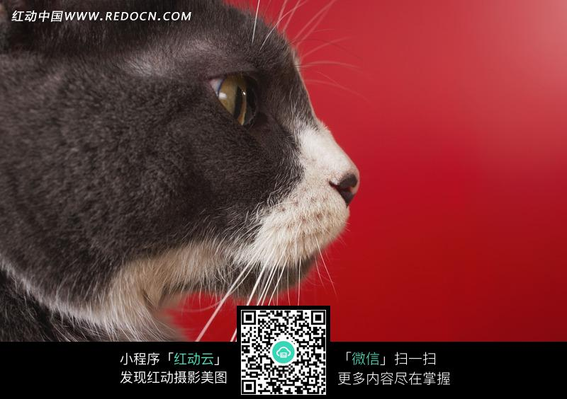 免费素材 图片素材 生物世界 陆地动物 深棕色猫咪脸部右侧面  请您