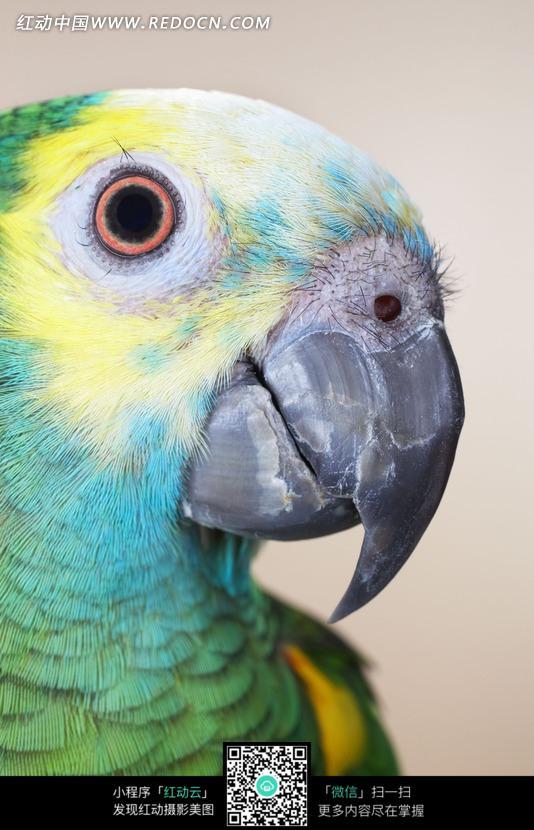 一只彩色鹦鹉头部特写_陆地动物图片