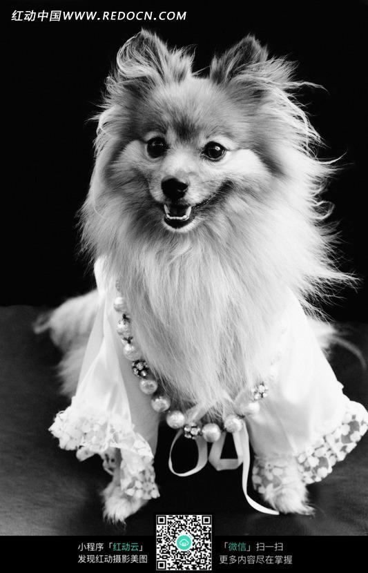 穿衣服戴项链的宠物狗图片