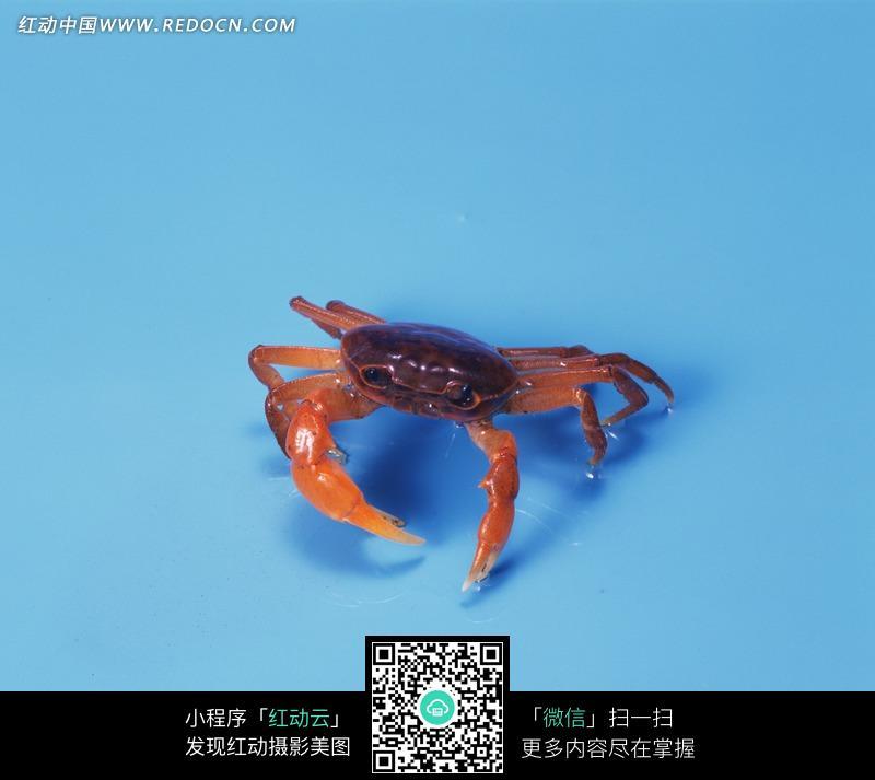 蓝色背景上的螃蟹图片_陆地动物图片