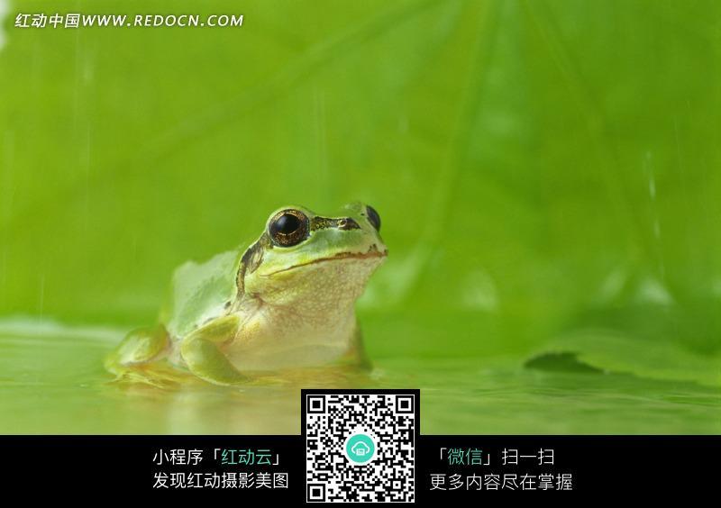 荷叶上的一只青蛙图片