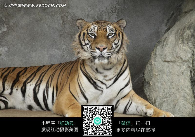 躺着的老虎_陆地动物图片_红动手机版