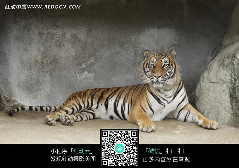 躺着的老虎摄影图片_陆地动物图片