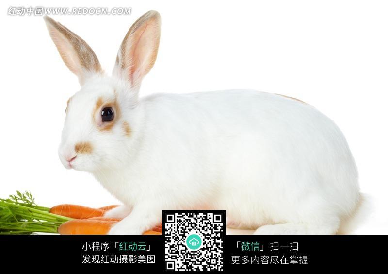 可爱雪白兔子图片