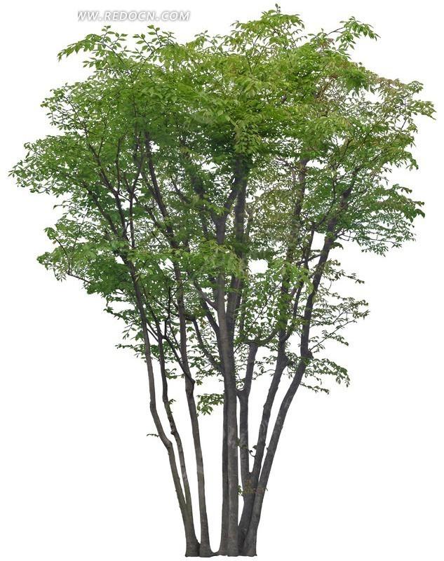 一棵 光叶榉树 植物 花草 树木 绿化 psd分层素材 植物图片