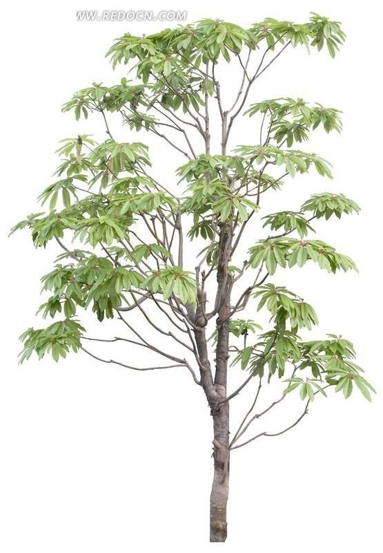 粗大绿叶树木透明png格式