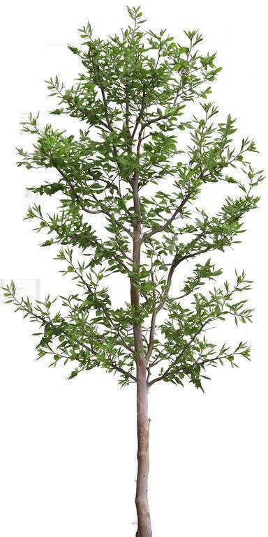 一棵青翠的小树苗透明png格式