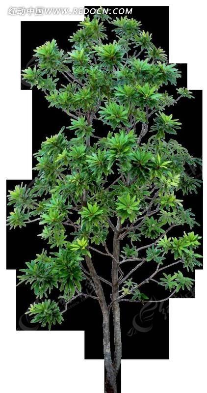 树叶茂盛的小树木png格式