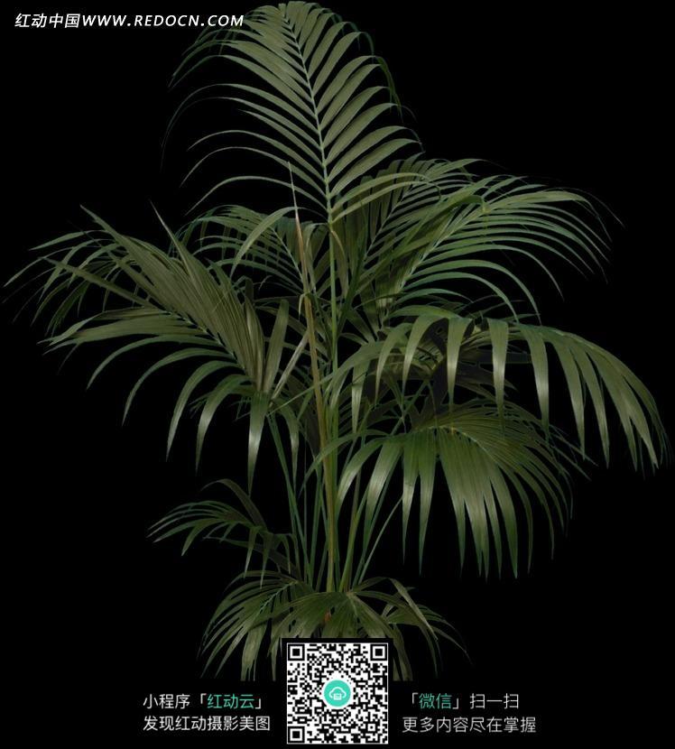 棕榈科植物散尾葵