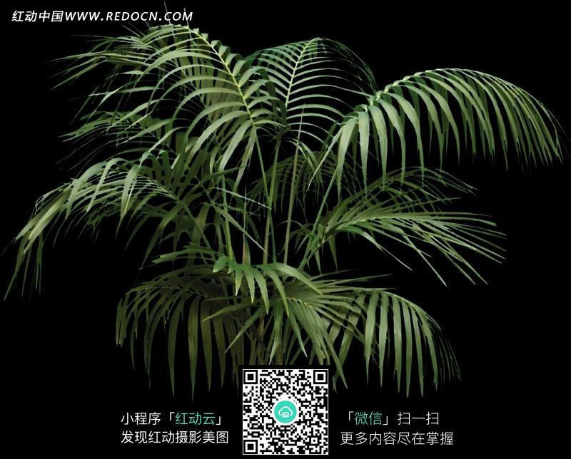 绿化植物散尾葵