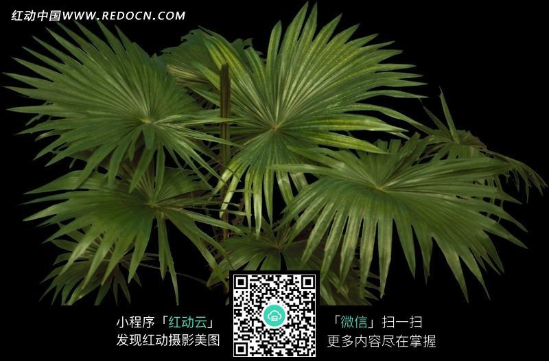 大片叶子的蒲葵图片