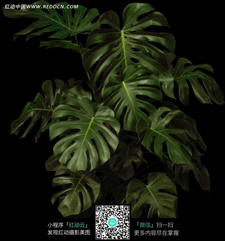 茂盛的龟背竹图片