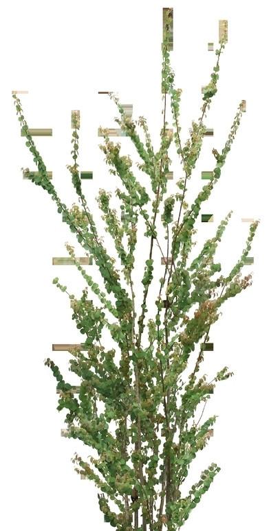 几株生长在一起的细叶小树透明png格式