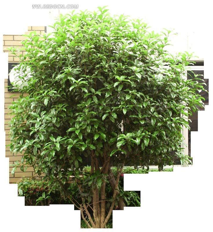 生长茂盛的绿色树木透明png格式