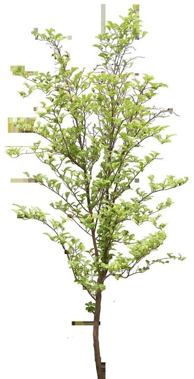 纤细枝干的小树苗透明png格式