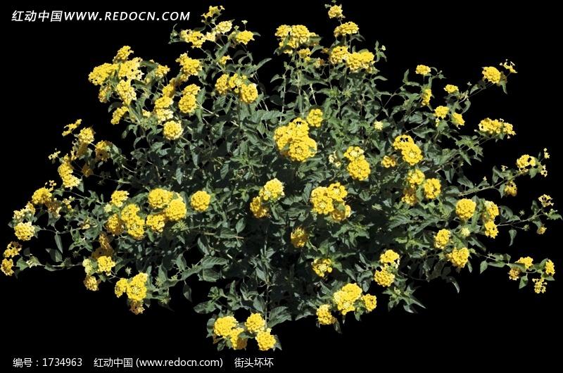 黄色花朵景观植物图片