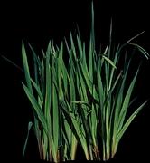 尖叶植物图片