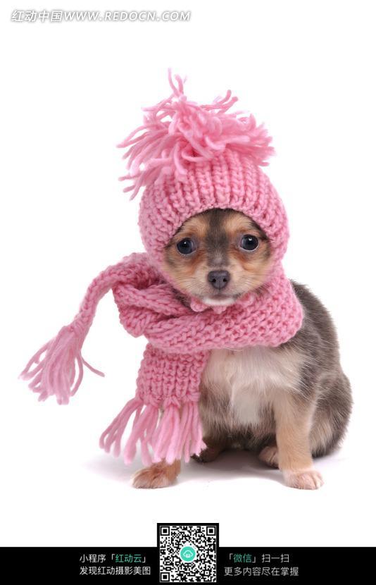 戴帽子和围巾的小狗图片