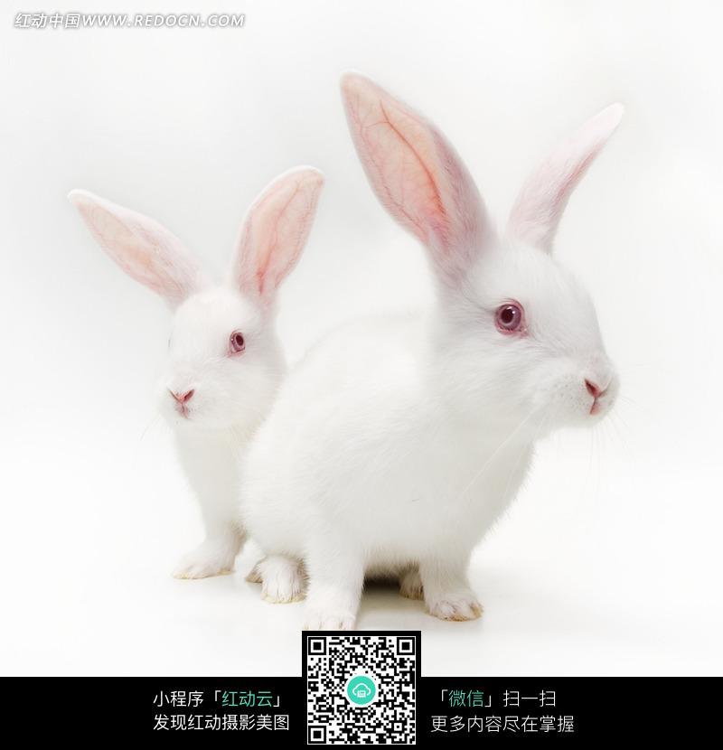 两只可爱的小白兔图片