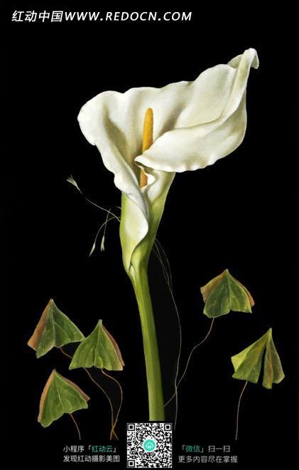 教案社会一枝独秀的马蹄莲花卉版油画人教四上册小学年级v教案图片