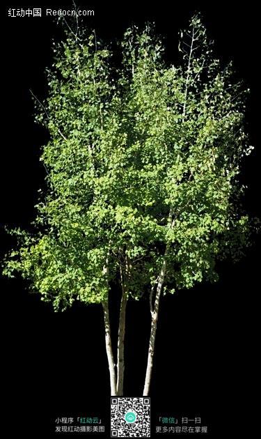 几棵生长在一起的小树