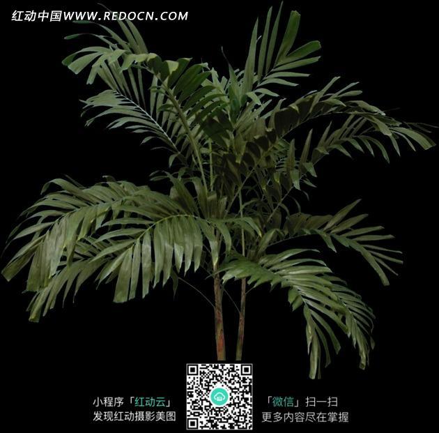 黑色背景下的袖珍椰子图片