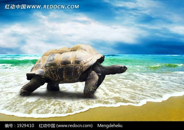 沙滩上行走的大海龟摄影图片_水中动物图片
