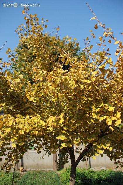 银杏树 黄色叶子 植物图片 植物 摄影图片 植物照片