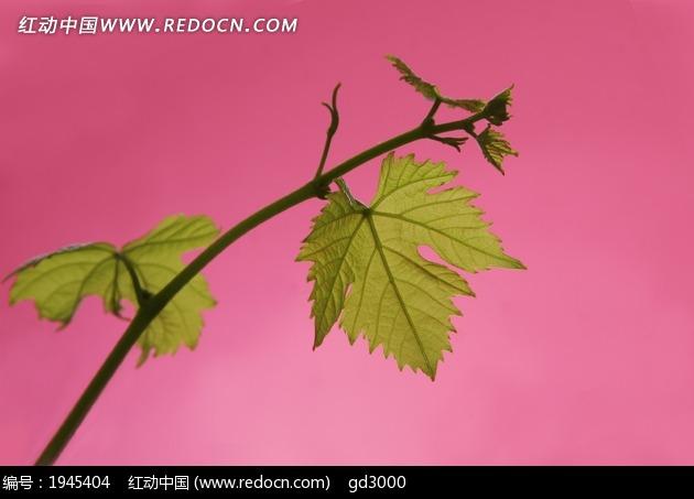 树叶 树枝 叶子图片图片
