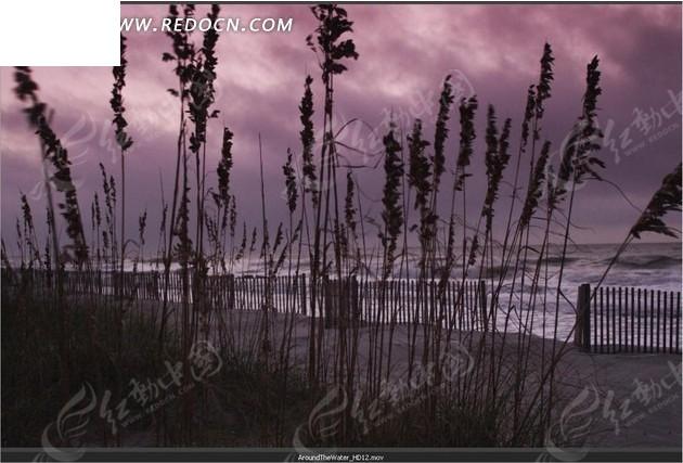 海边随风摆动的芦苇图片