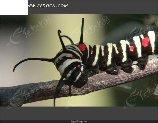 红色点点  触角  虫子   昆虫 动物世界 实拍视频 视频素材 宣传视频